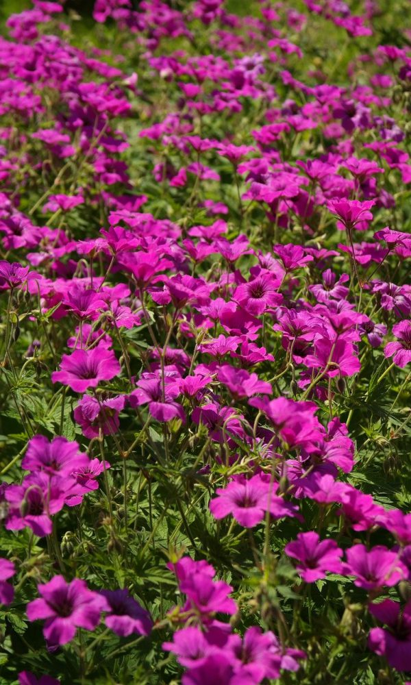 cranesbill, blossom, bloom