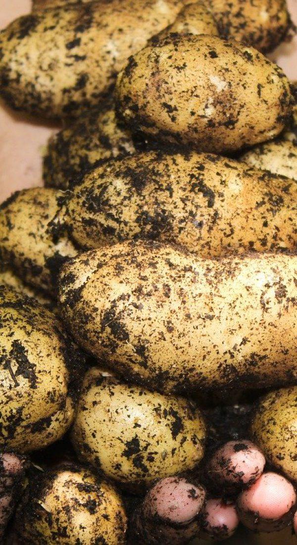 potatoes, natural, soil
