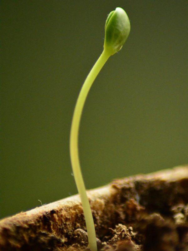 sapling, new, growth